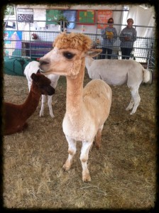 Alpaca at the Fair